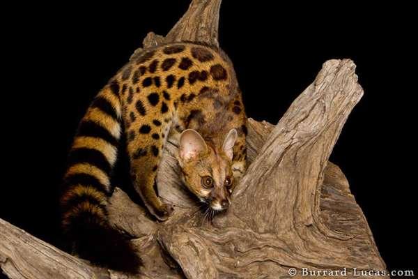 50-Rusty-spotted Genet