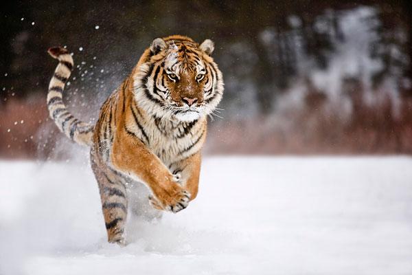 7-snow-tiger