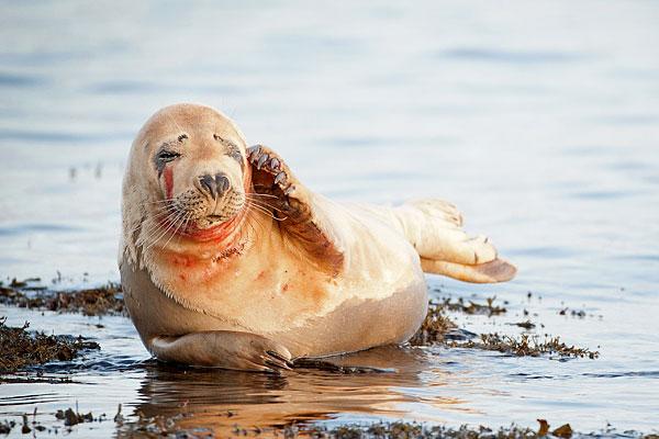 9-atlantic-seal