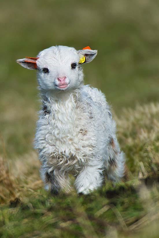14. Lamb