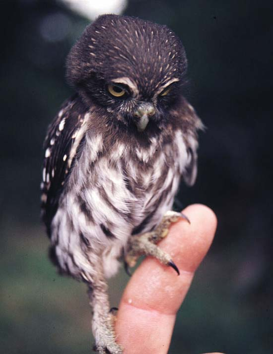 15. Baby Owl