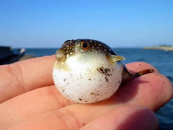 18. Baby Puffer Fish