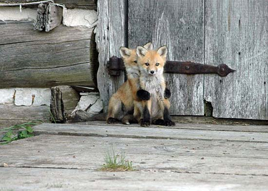 21. Baby Foxes