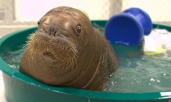 23. Baby Walrus