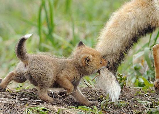 24. Baby Fox