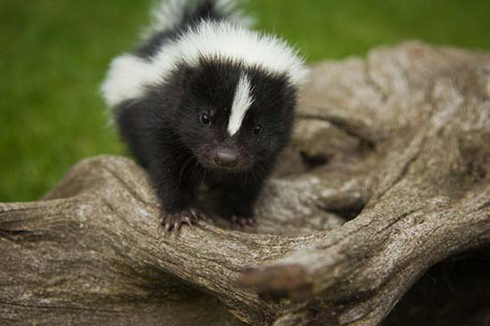 26. Baby Skunk