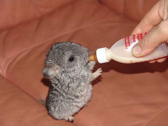 27. Baby Chinchilla