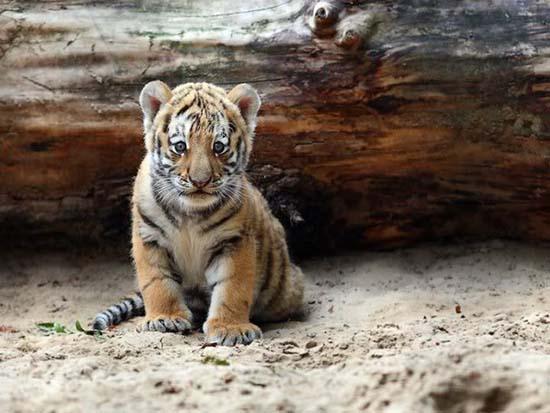 39. Tiger