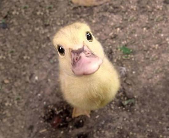 5. Duckling