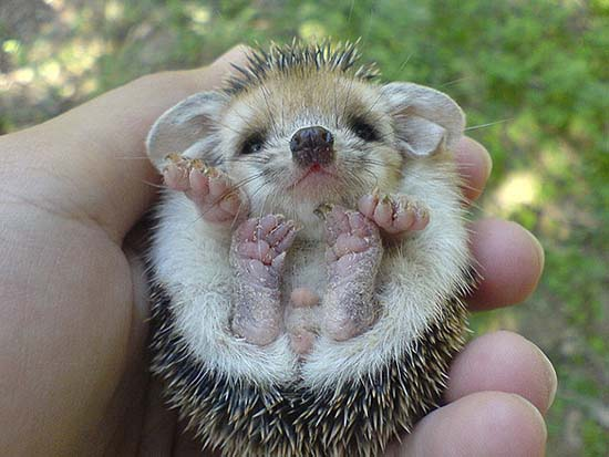 8. Baby Hedgehog
