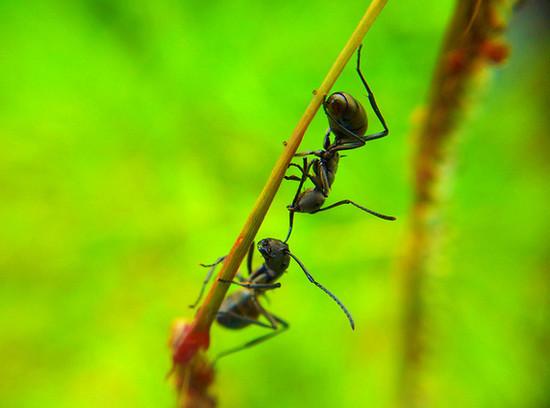 Black Ants Fighting taken using Samsung Galaxy S2 Camera + Macro Lens