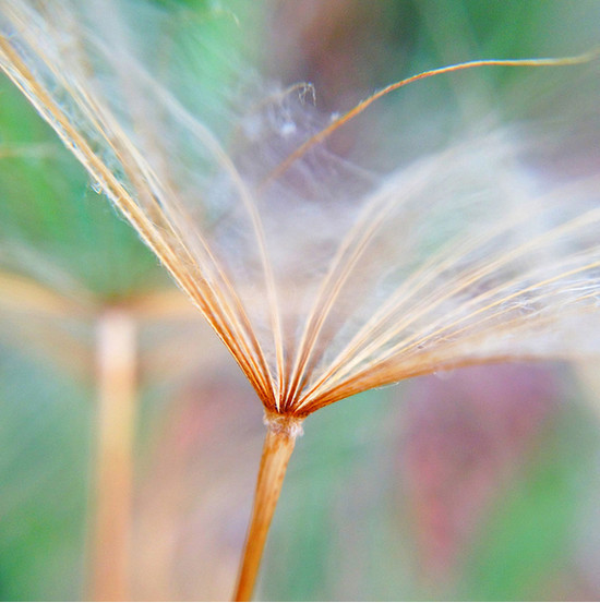 Parachute Seed