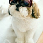 18-LOL-Shih-Tzu-In-Sunglasses