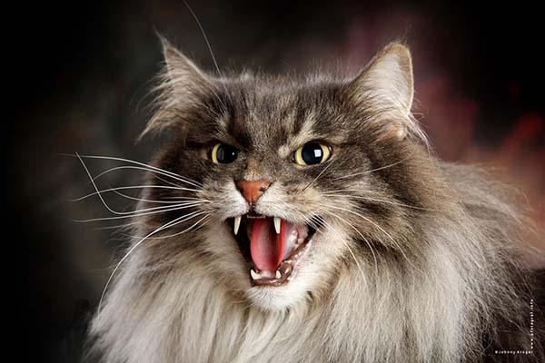 25-Norwegian Forest Cat