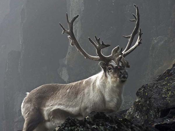 30-Reindeer in the Mist