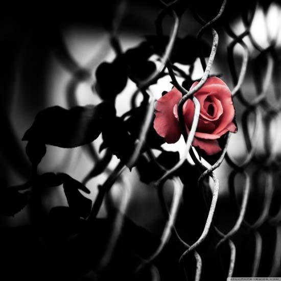The-Brave-Rose-Custom