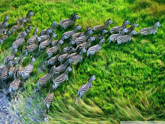mac_os_x_retina_zebras