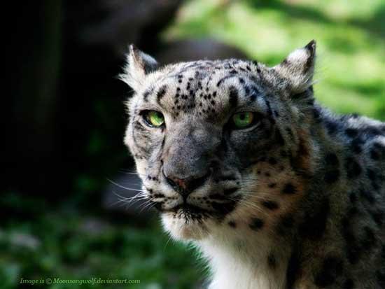 snow_leopard_wallpaper_1