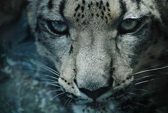 snow_leopard_wallpaper_2
