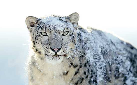 snow_leopard_wallpaper_4