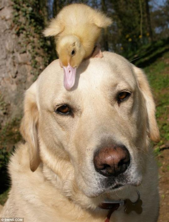 Labrador Adopt Duckling After Its Mother Died