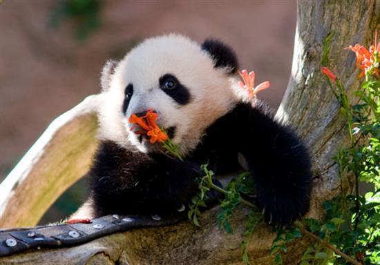 baby-panda-photos-1