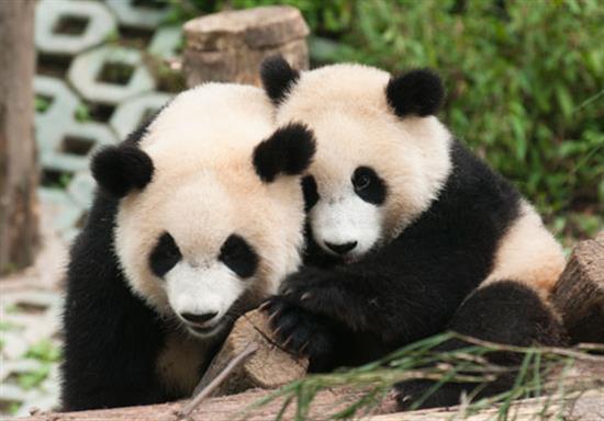 baby-panda-photos-10