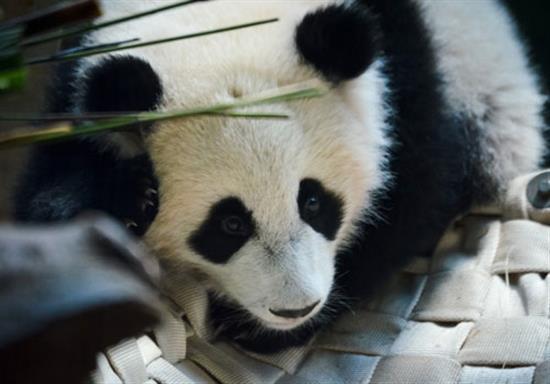 baby-panda-photos-11