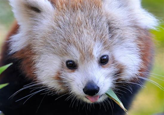baby-panda-photos-12