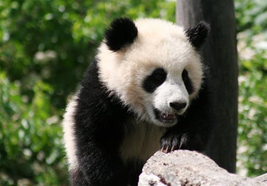 baby-panda-photos-13