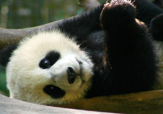 baby-panda-photos-15