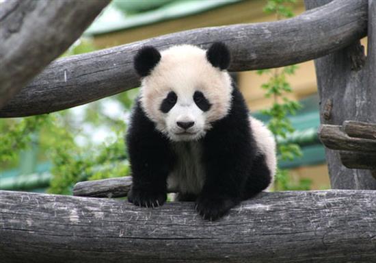 baby-panda-photos-16