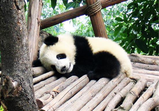baby-panda-photos-17