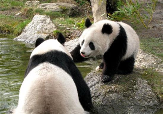baby-panda-photos-18