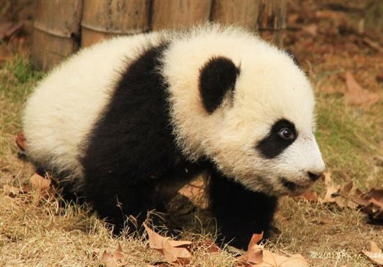 baby-panda-photos-19