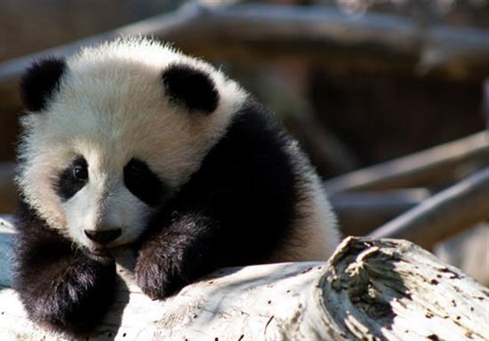 baby-panda-photos-2
