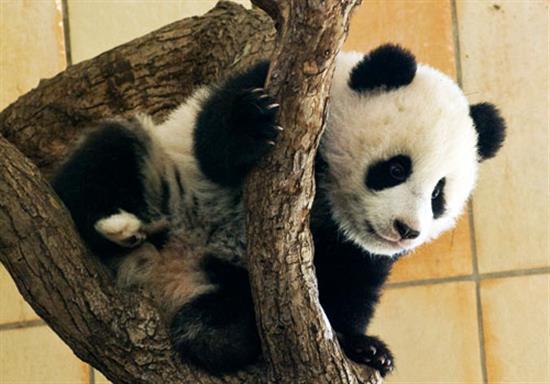 baby-panda-photos-20