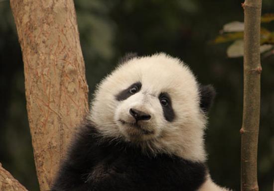 baby-panda-photos-3