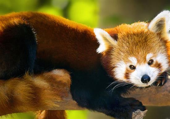 baby-panda-photos-4