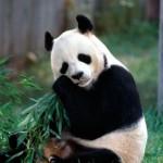 baby-panda-photos-5