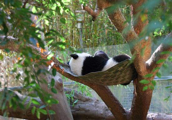 baby-panda-photos-6