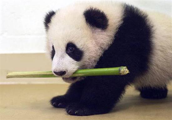 baby-panda-photos-7