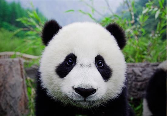 baby-panda-photos-8
