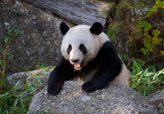 baby-panda-photos-9