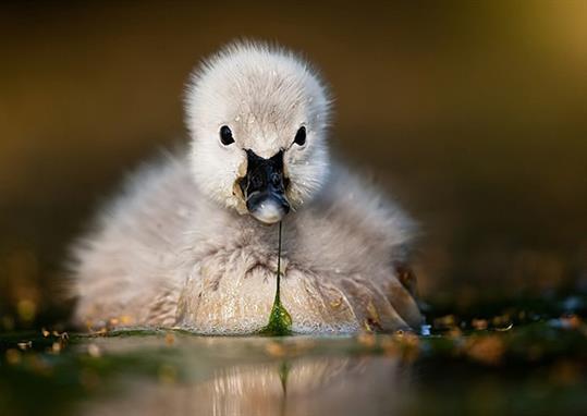 black-swan-baby