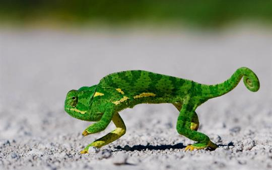 cute-colorful-lizard