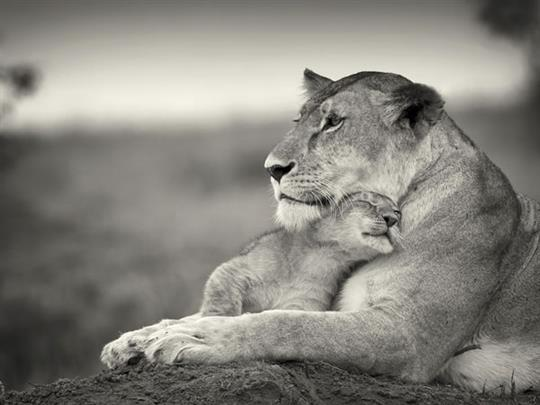 cute-lions-hugging