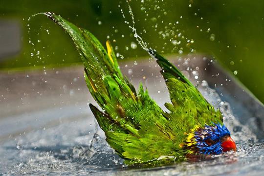cute-parrot-bath