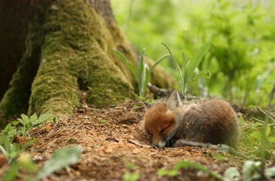 cute-sleeping-fox